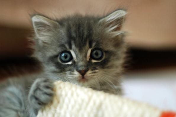 267-fluffy_kitten